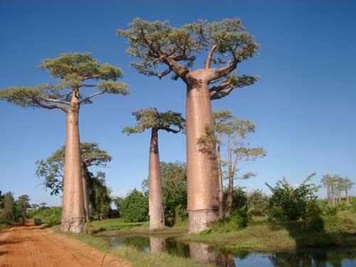 El baobad el arbol de 6000 años