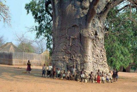 Baobad el arbol de 6000 años