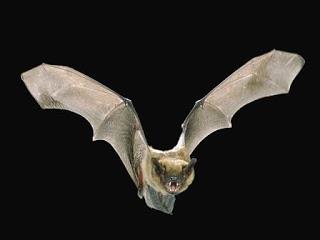 Animales Anunciadores De Muerte: El MurciéLago