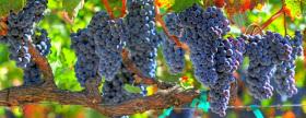Resveratrol: la molécula de la eterna juventud
