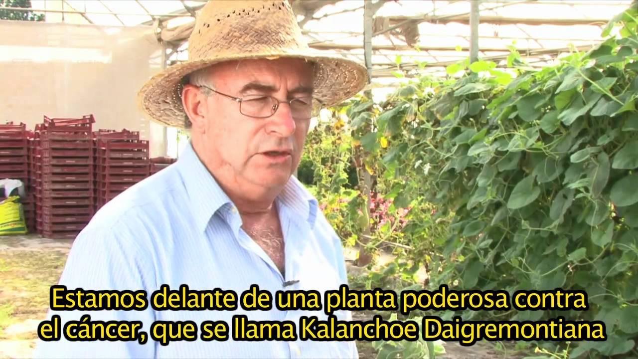 KALANCHOE, UNA PLANTA QUE DEJA EN ENTREDICHO A LAQUIMIOTERAPIA.