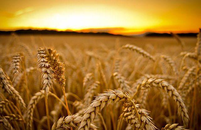 El 93% de las semillas originales han desaparecido