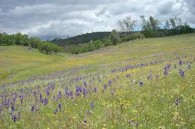 California sin flores silvestres y sin agua: ayer drenó humedales y hoy sus cuencas