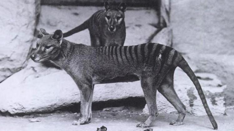 En busca del tigre 'fantasma': Científicos buscan una especie extinguida en 1936