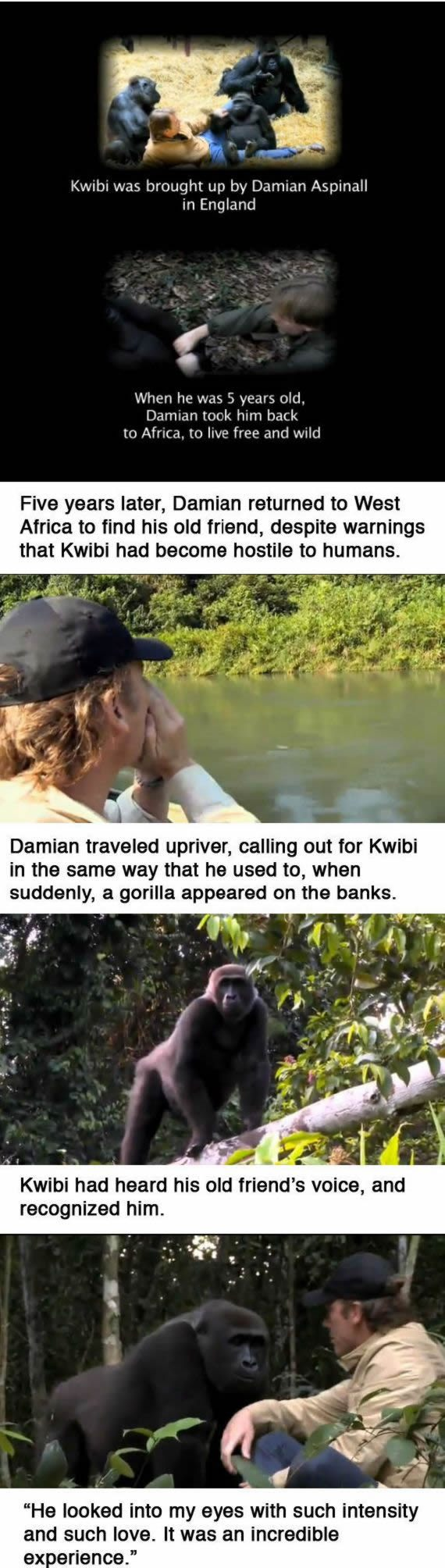 Kwibi gorila