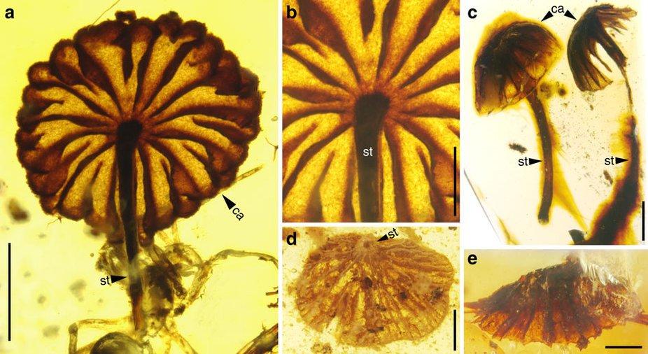 ambar1 5a345363 - Encontrado el fósil de un hongo con más de 115 millones de años.