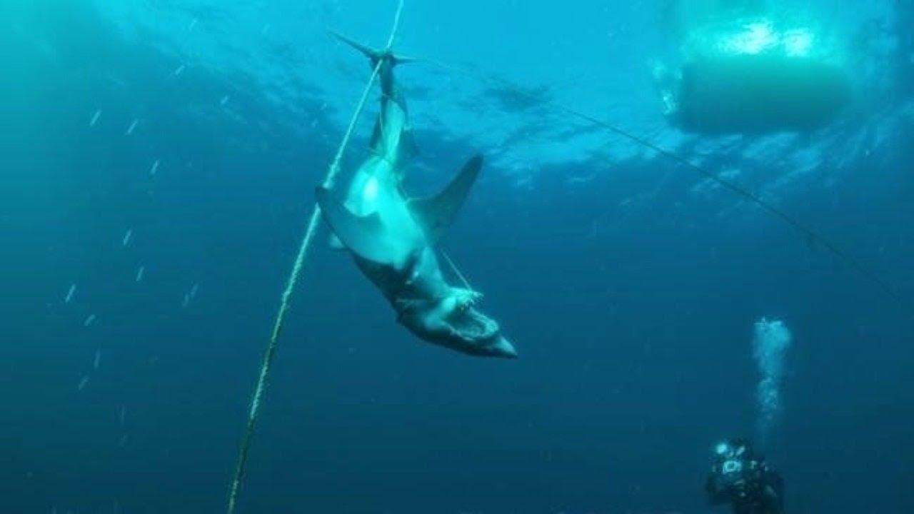 El misterio del tiburón atado y ejecutado brutalmente bajo el mar.
