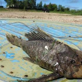 """Rusia: Atrapan """"un pez mutante"""" con la cabeza de reptil y escamas fosilizadas"""