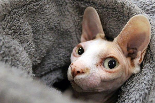 Los extraterrestres felinos (Gatoides), otra especie que se suele ver en la Tierra