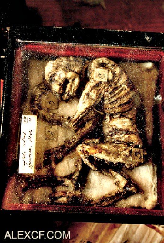 Supuestos restos sucubo - Un peculiar museo que expone especies negadas por la ciencia