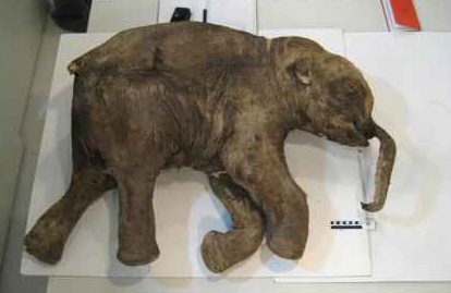 En Rusia se intentará clonar un mamut