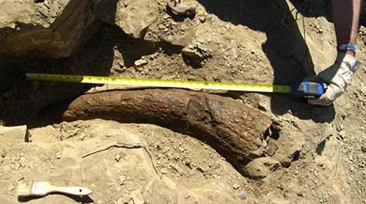 Los humanos caminaron sobre la Tierra junto con los dinosaurios. Cuerno de Triceratops de 33.500 años de antiguedad lo demuestra