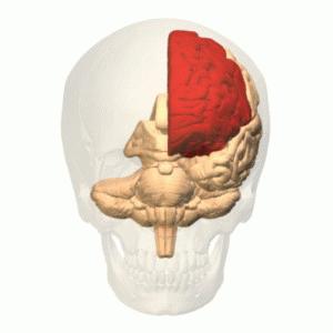 """Encuentran """"cabeza de serpiente"""" en el centro del cerebro humano"""