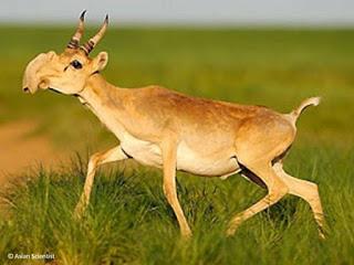 Una especie de antilopes desaparecera en semanas mueren 85000 en dias