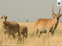 LosantC3ADlopessaiga28Saigatatarica29 - Una especie de antilopes desaparecera en semanas mueren 85000 en dias