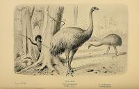 Moa, avistamientos en Nueva Zelanda.