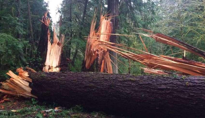 Una misteriosa fuerza invisible derriba cientos de árboles gigantescos en el estado de Washington