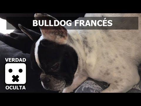Bulldog Francés MASCOTA DE VERDAD OCULTA