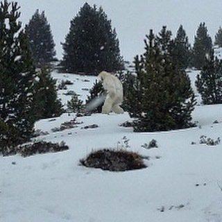 1523653542689555069124543653114 - Ser extraño avistado en los Pirineos:¿ Hombre de las nieves?¿Se ha extinguido?