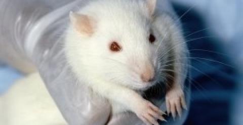 Implantan con éxito mini-cerebros humanos en ratones