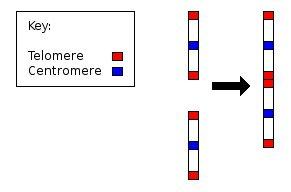 Evolución del hombre y el misterioso Cromosoma 2