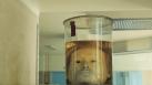 Un neurocientífico redefine el concepto de muerte al lograr mantener vivos cerebros de cerdo en laboratorio
