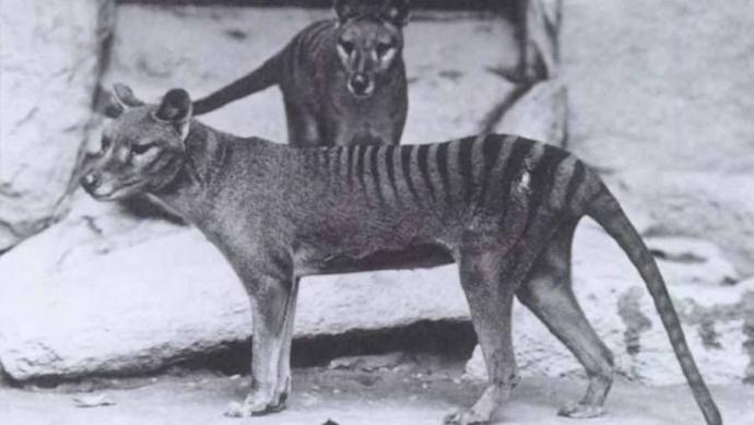 Los científicos están a un paso de traer a la vida al extinto tigre de Tasmania usando la misma tecnología que Jurassic Park