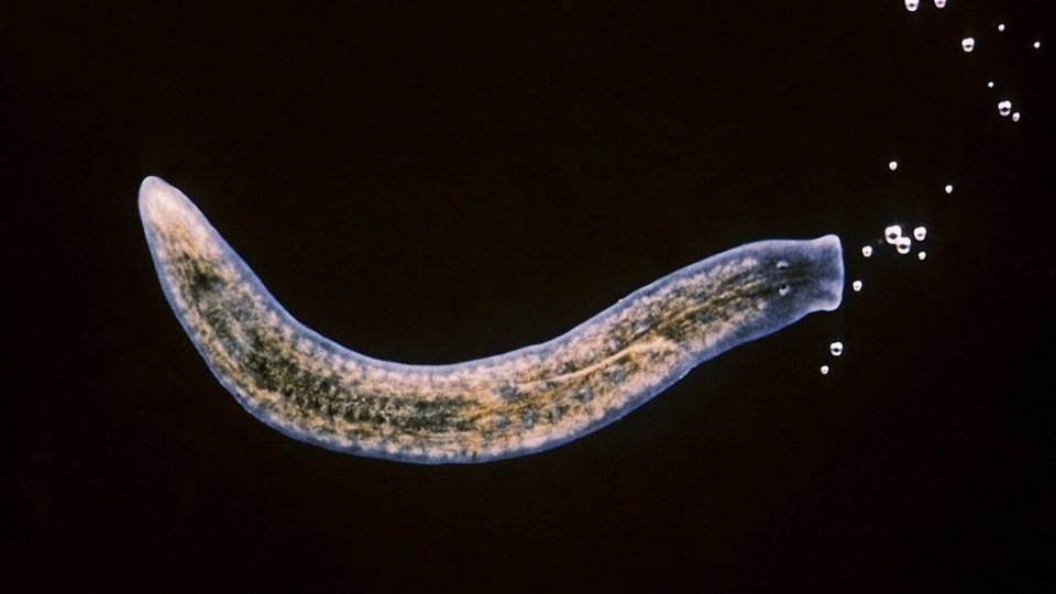 Elixir de la vida': Aíslan a una célula capaz de regenerar todo el cuerpo