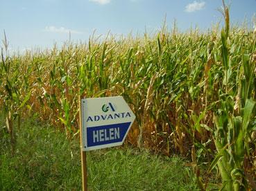 El 67% de los cultivos transgénicos experimentales de la Unión Europea están en España