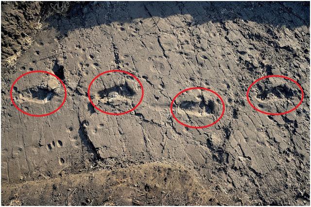 """Huellas de 6 millones de años demuestran que la """"Teoría de la Evolución"""" ESTÁ EQUIVOCADA"""