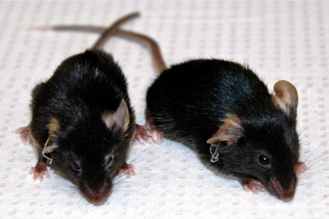 Científicos logran revertir el envejecimiento en ratones