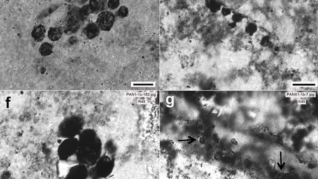 Descubren los microbios fosilizados más antiguos jamás hallados en la Tierra