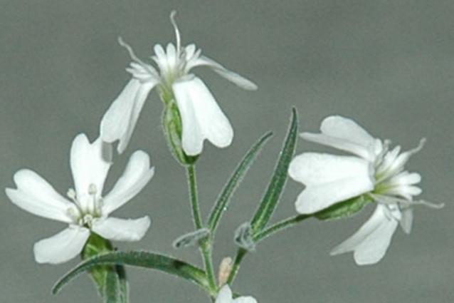 Flor extinta revive después de 32 mil años