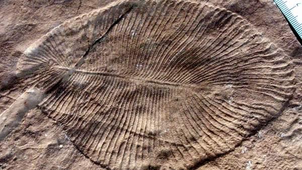 La Grasa fosilizada revela que Dickinsonia es el animal más antiguo conocido