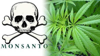 Monsanto pretende cultivar en Uruguay marihuana genéticamente modificada