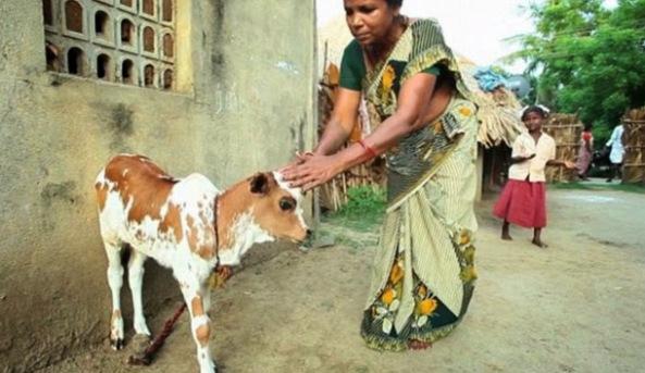 Nace un ternero en la India con tres ojos y los pobladores creen que es la reencarnación de Shiva
