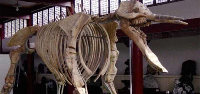 Platybelodon | elefante extinto que abría su trompa