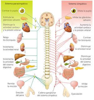 Artículo de Neurociencias: Educando al problemático simpático