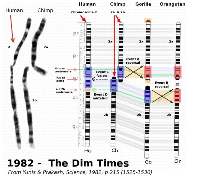 El misterioso cromosoma 2 y nuestros origenes