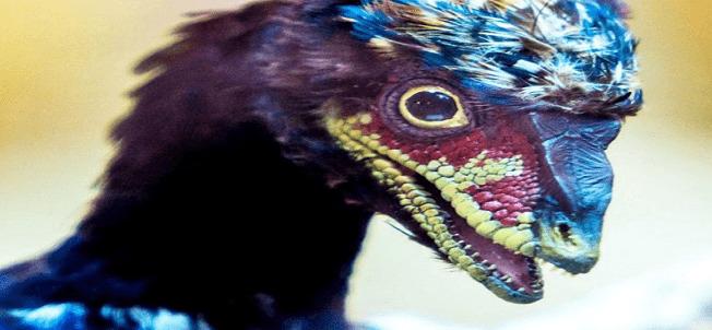 Científicos crearon por accidente embriones de pollo con caras de dinosaurios?