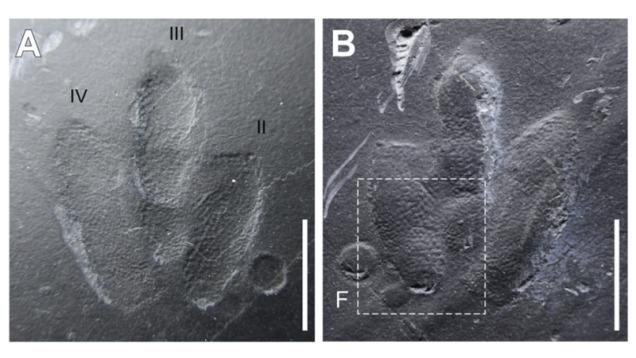 Encuentran unas huellas de dinosaurio tan bien conservadas que permiten ver como era su piel