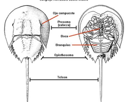 La extraordinaria sangre del cangrejo herradura