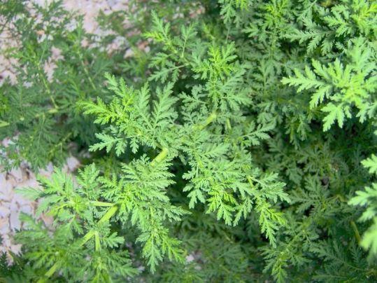 Plantas prohibidas que incomodan a las farmaceuticas
