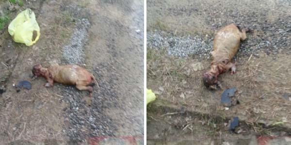 La Extraña y Anormal criatura que fue encontrada en plena carretera de Oklahoma.