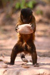 """La naturaleza de la Inteligencia: académicos afirman que varias especies de monos ya entraron a la """"Edad de Piedra"""""""