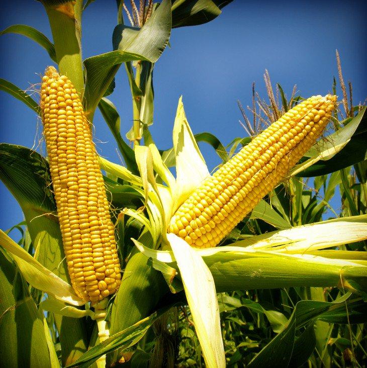 M ira Cómo La Modificación Genética Ha Cambiado nuestros Alimentos y nuestro Mundo