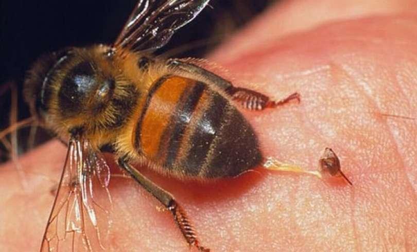 Veneno de abeja mata el VIH; UNAM descubre cura contra SIDA