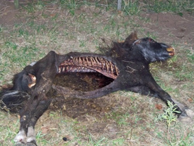 Mutilaciones de ganado: un fenómeno real que perdura y al que nadie le hace caso