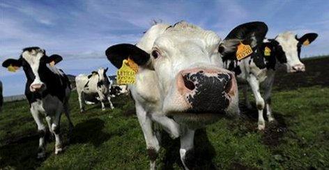 EEUU envió 500 mil vacas al matadero para subir ilegalmente el precio de la leche