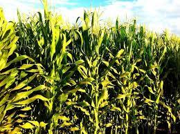 El origen del maíz - Leyenda azteca